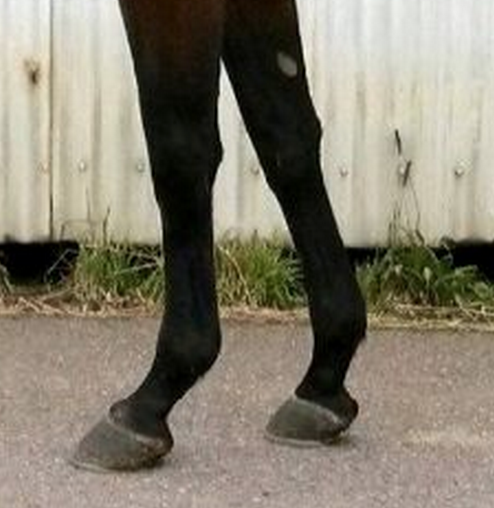 horse front legs